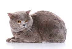Gray British Shorthair katt med bruna ögon Arkivfoto