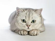 Gray British-shorthair Katze lizenzfreie stockfotos