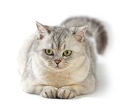 Gray British Shorthair. Royalty Free Stock Photography