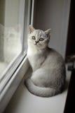 Gray British Shorthair stock image