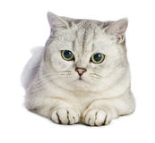 Gray British shorthairkatt Royaltyfri Bild