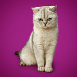 Gray British shorthairkatt arkivfoto