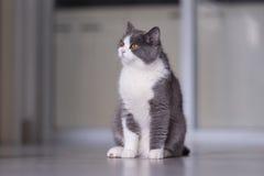 Gray British shorthairkatter Royaltyfri Fotografi