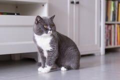Gray British shorthairkatter Fotografering för Bildbyråer