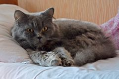 Gray British striat cat with long hair lying on the bed and white pillow. Morning with Highland straighter cat stock photography