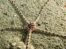 Gray Brittle Star. A Gray Brittle Star photographed in the southern Gulf Island of British Columbia royalty free stock photos