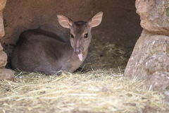 Gray brocket deer royalty free stock images