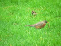 Gray and Brown Bird on Green Grass Field Stock Images