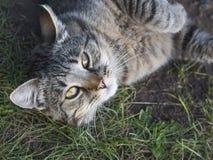 Gray-brown cat looking at the camera Royalty Free Stock Image