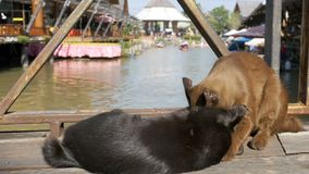 Two Cats are Played with each other Lying on a Wooden Pier in the Floating Pattaya Market. Thailand. Gray and brown cat are played with each other lying on a stock video