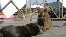 Two Cats are Played with each other Lying on a Wooden Pier in the Floating Pattaya Market. Thailand. Gray and brown cat are played with each other lying on a stock video footage