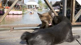 Two Cats are Played with each other Lying on a Wooden Pier in the Floating Pattaya Market. Thailand. Gray and brown cat are played with each other lying on a stock footage