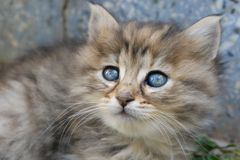 Gray and brown cute kitten head with blue eyes. Close up tabby cat portrait. Street cat and lifestyle concept.  stock photo