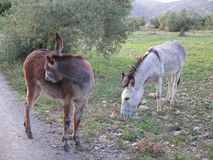 Gray and brown donkeys Stock Image