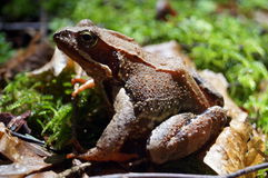 Gray- brown forest frog sits on a green moss Royalty Free Stock Photo
