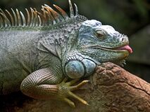 Gray and Brown Iguana Royalty Free Stock Photography