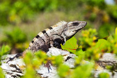 Gray-Brown Iguana Royalty Free Stock Photo