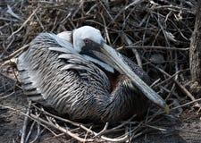 Gray Brown Pelican femminile sul nido fotografia stock libera da diritti