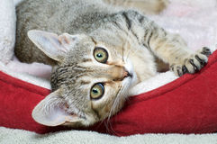 Gray and brown tabby sideways watching stock photo