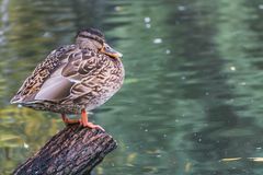 A gray and brown young adult duck with yellow nose and orange legs is standing on the wet wooden stump by the pond in autumn royalty free stock images