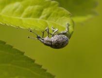 Gray bug on plant sheet Royalty Free Stock Image