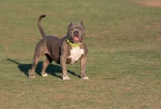 Bully breed posing on the grass at the park Stock Image