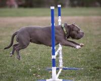 Gray bully jumping over agility jump Stock Photos