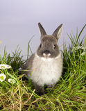 Gray bunny. Very young gray easter bunny on a patch of grass Stock Photos