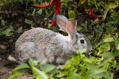 Gray Bunny fotografie stock