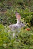 Gray Bunny immagini stock