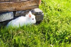 Gray Bunny Lizenzfreies Stockfoto