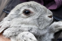 Gray bunny Royalty Free Stock Image
