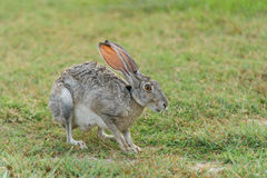 Gray Bunny on Grass Field Royalty Free Stock Image