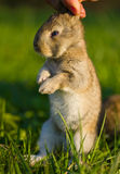 Gray bunny in hand Royalty Free Stock Image