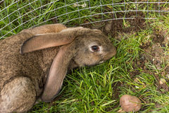 Gray bunny Royalty Free Stock Image