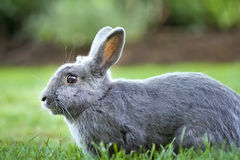 Gray Bunny Rabbit. Profile of a gray bunny rabbit in the park Stock Images