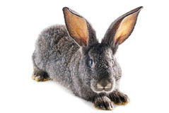 Gray bunny rabbit Stock Image