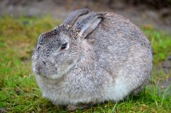 Gray Bunny Rabbit Stock Photography