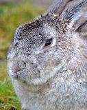 Gray Bunny Rabbit Close su Fotografia Stock Libera da Diritti