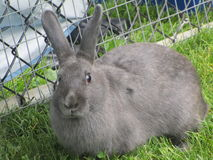 Gray bunny rabbit on grass. Adorable gray bunny rabbit on grass and looking at camera Royalty Free Stock Photography