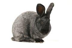 Gray bunny rabbit Royalty Free Stock Photo