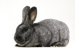Gray bunny rabbit Stock Photos