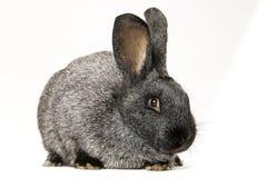 Gray bunny rabbit Royalty Free Stock Photography