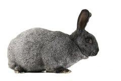 Gray bunny rabbit Royalty Free Stock Images