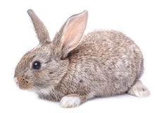 Gray bunny sitting isolated on white background Stock Photography