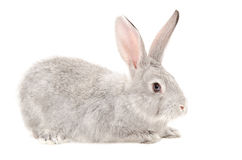 Gray bunny Stock Photography