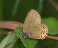 Gray butterfly on a green leaf Stock Photography