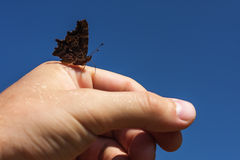 Gray butterfly sitting on a man's hand on a background of blue sky Stock Photos