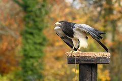 Gray Buzzard Eagle royalty-vrije stock foto