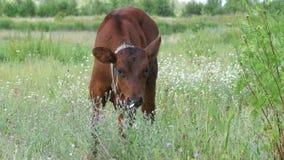 Gray Calf Cow Graze in een Weide stock footage